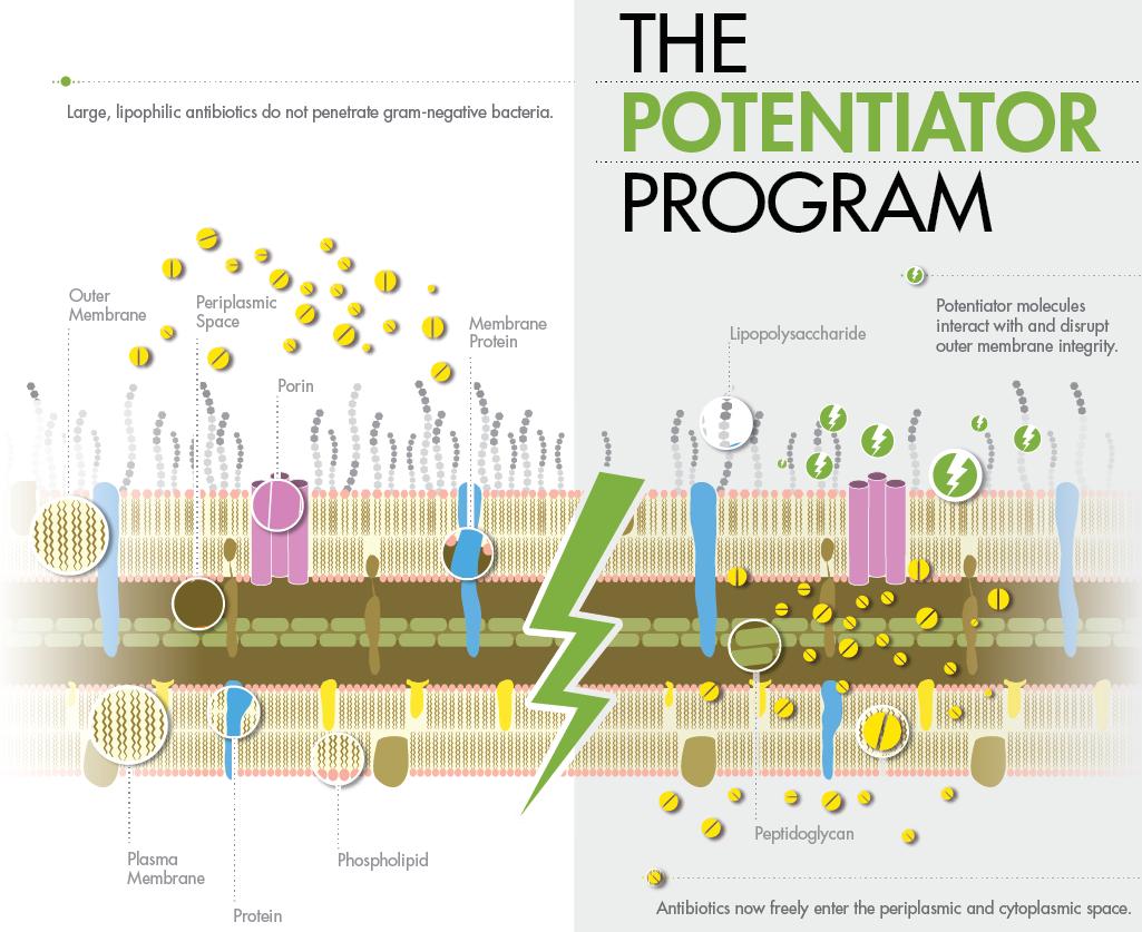 Потенцирующие средства разрушают липополисахаридный слой.