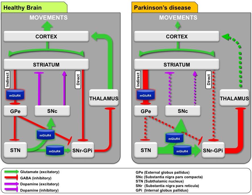 mglur4 - Метаботропные глутаматные рецепторы против паркинсонизма