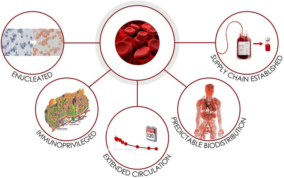 Модифицированные эритроциты справятся с любыми заболеваниями