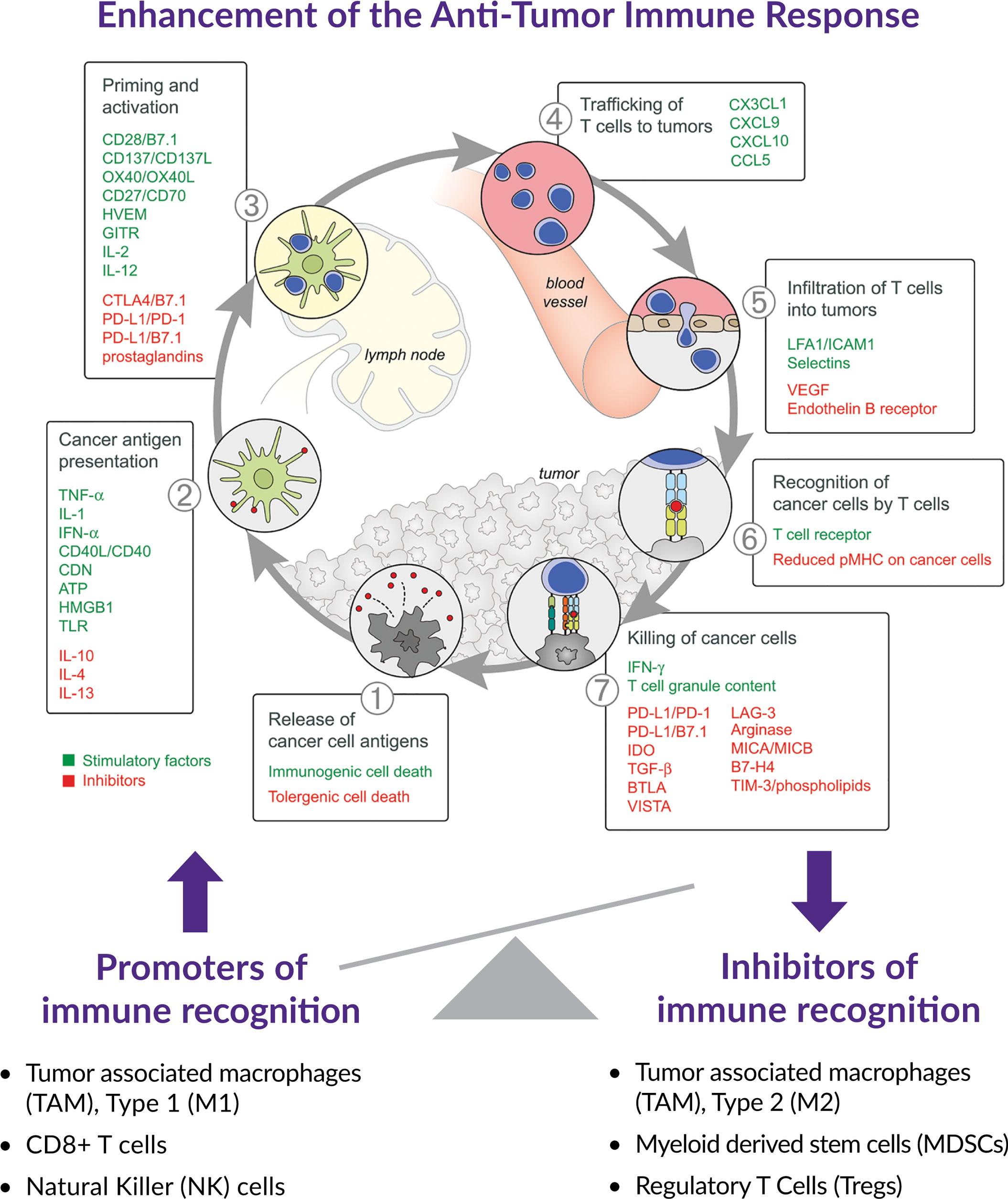 cancer immune cycle enhance - Ситраватиниб: фантастический тирозинкиназный ингибитор