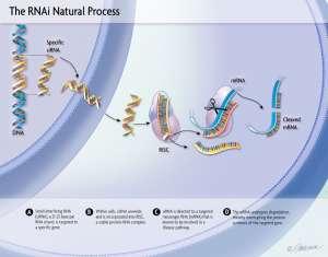 РНК-интерференционная терапия: кульминация близка