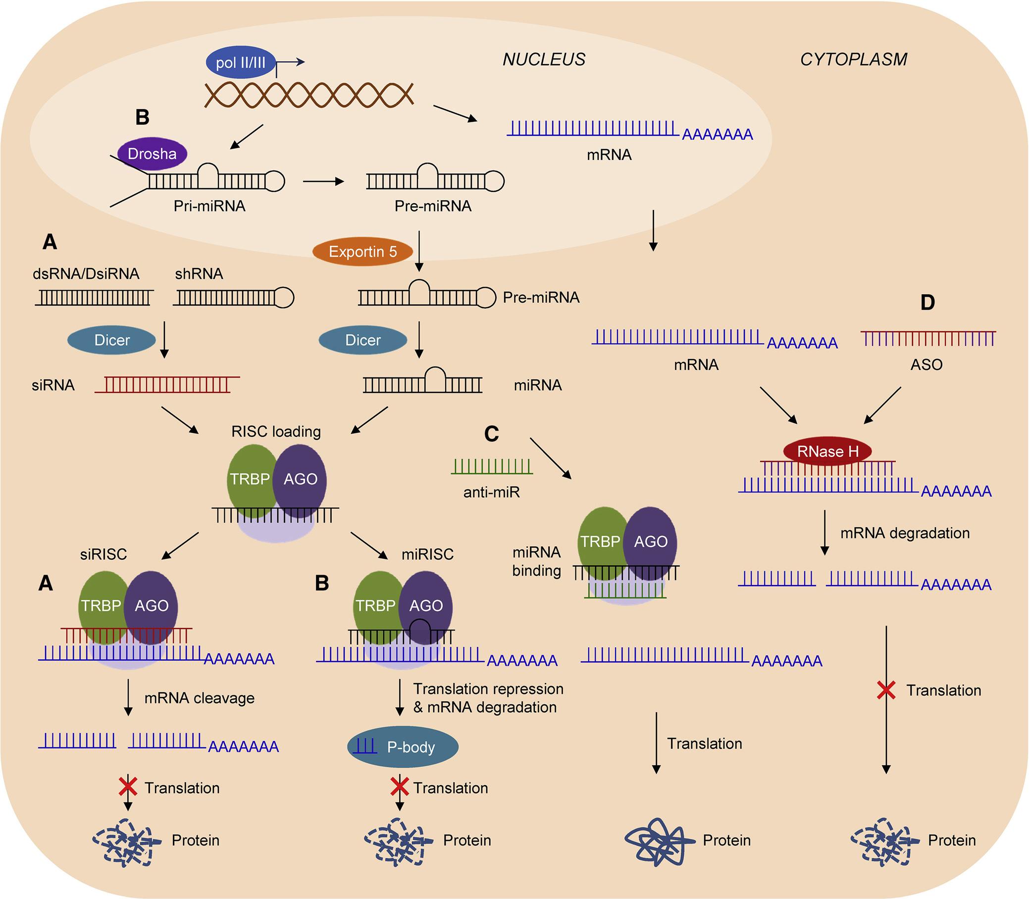 gene regulation pathways - Инотерсен: эффективность доказана