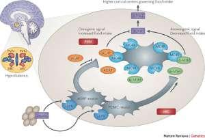 Сетмеланотид: заместительная терапия редких форм ожирения
