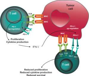 Есть ли иммуноонкологическое будущее у блокаторов CTLA-4