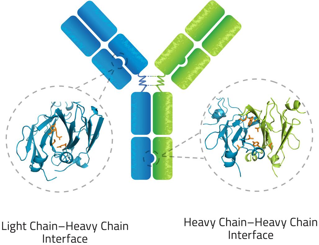 azymetric 01 - Zymeworks: сила биспецифических моноклональных антител