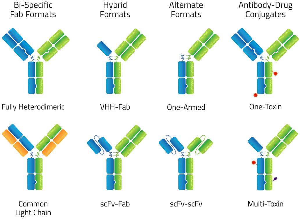 azymetric 02 - Zymeworks: сила биспецифических моноклональных антител