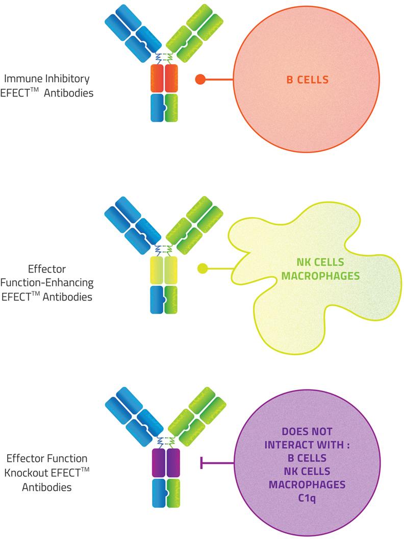 efect - Zymeworks: сила биспецифических моноклональных антител
