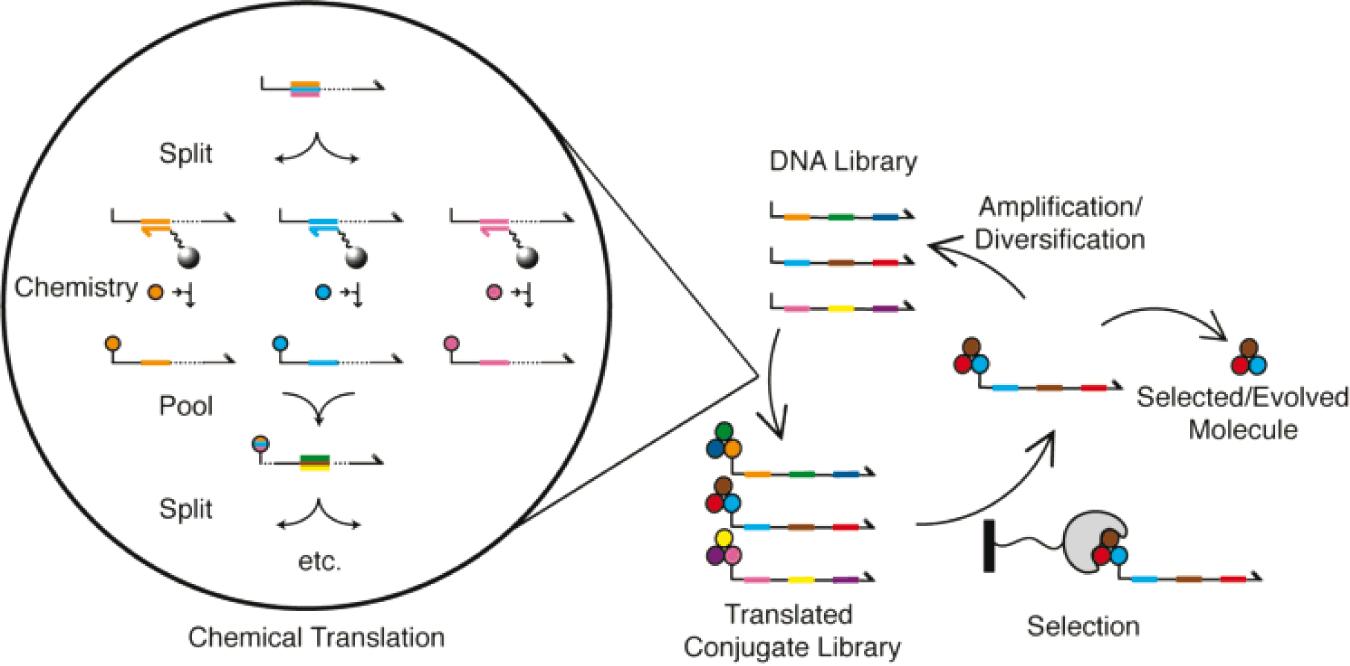 directed chemical evolution 02 - DiCE Molecules придумала, как заменить моноклональные антитела таблетками