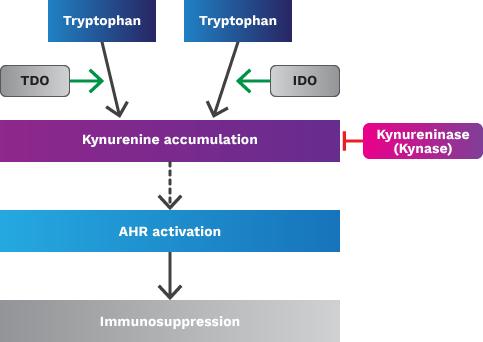 kyn therapeutics program 02 - Kyn Therapeutics: новые горизонты иммунной борьбы с раком