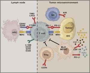 Kyn Therapeutics: новые горизонты иммунной борьбы с раком