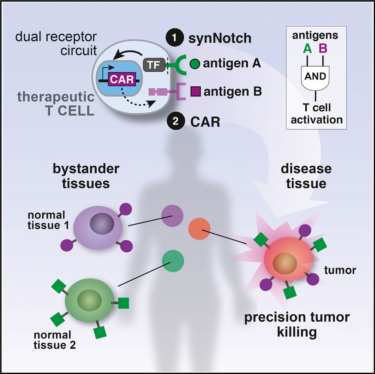 synNotch 03 - Cell Design Labs и технологии программирования T-клеток