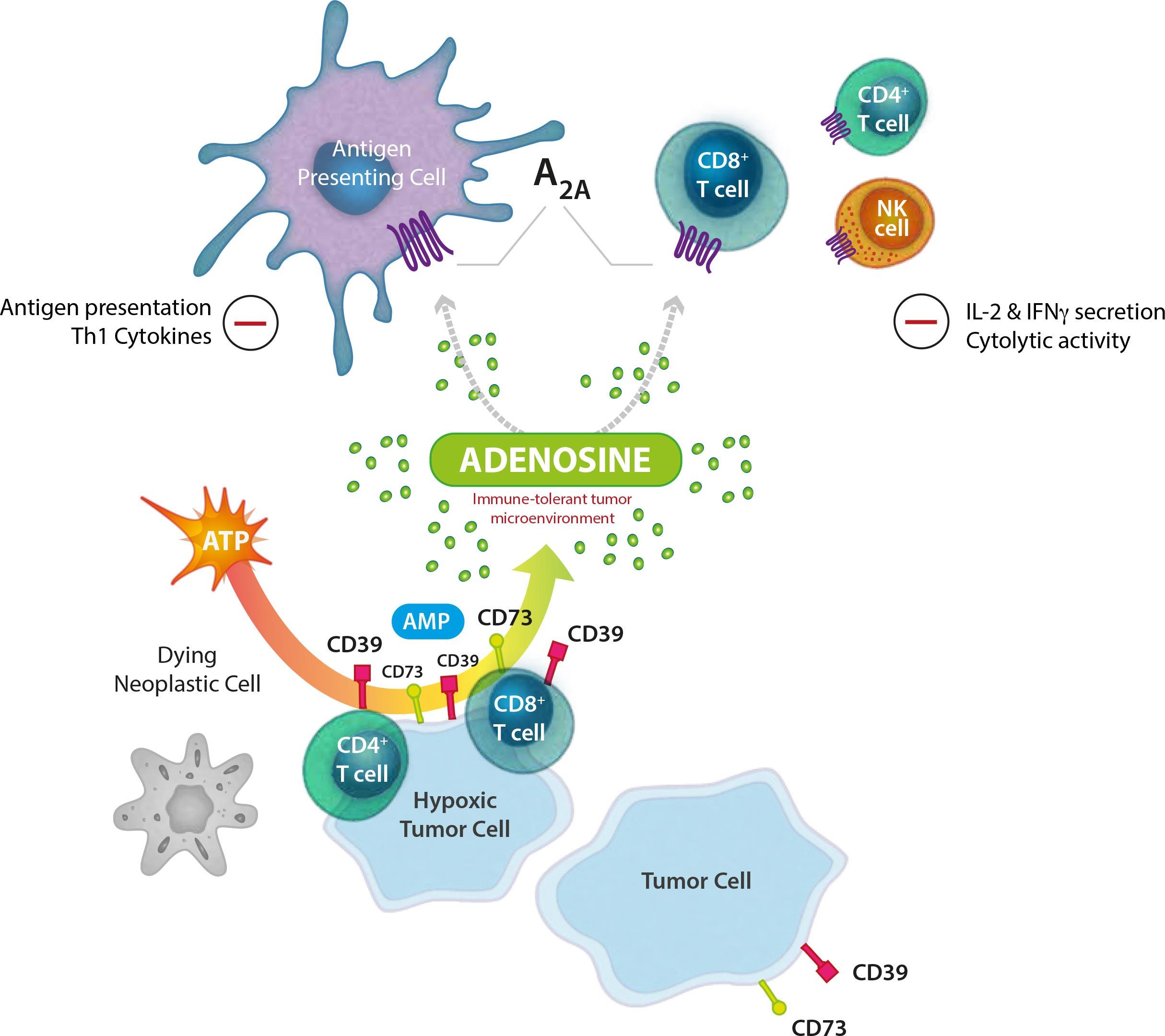 adenosine a2a receptor antagonist - Pfizer отказалась от противоракового IDO1-ингибитора