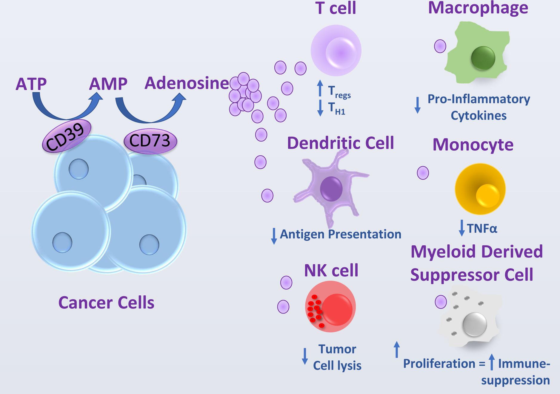 Arcus Biosciences: очередные ингибиторы иммунных контрольных точек