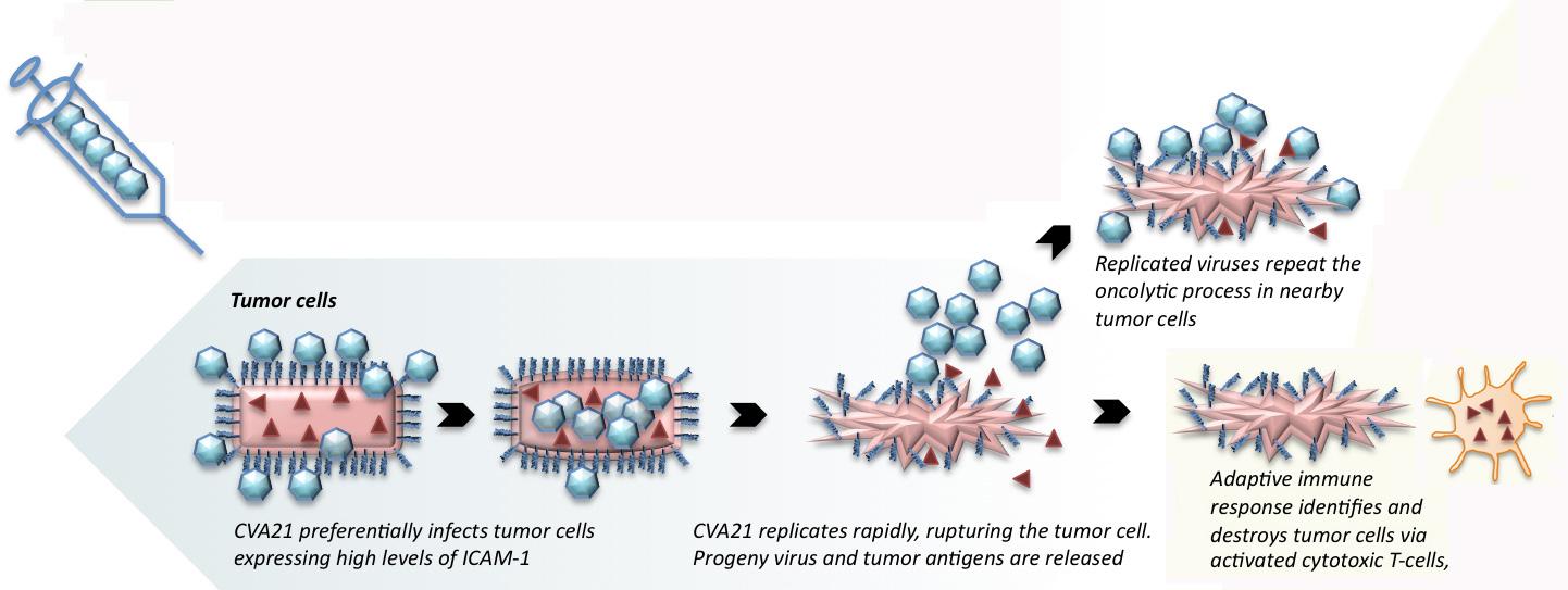 cavatak moa - Онколитические вирусы: иммунологическое лечение раковых заболеваний