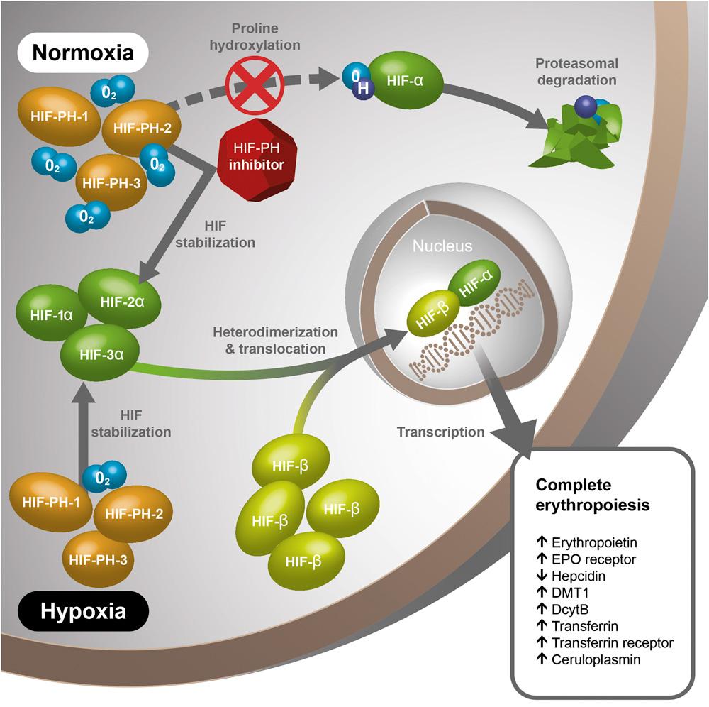 hypoxia inducible factor pathway - Роксадустат: эффективное и безопасное лечении анемии при хронической болезни почек