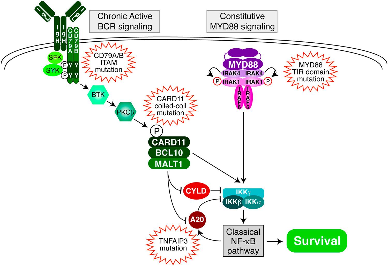 malt1 - AbbVie изучит новую мишень в лечении гематоонкологических заболеваний
