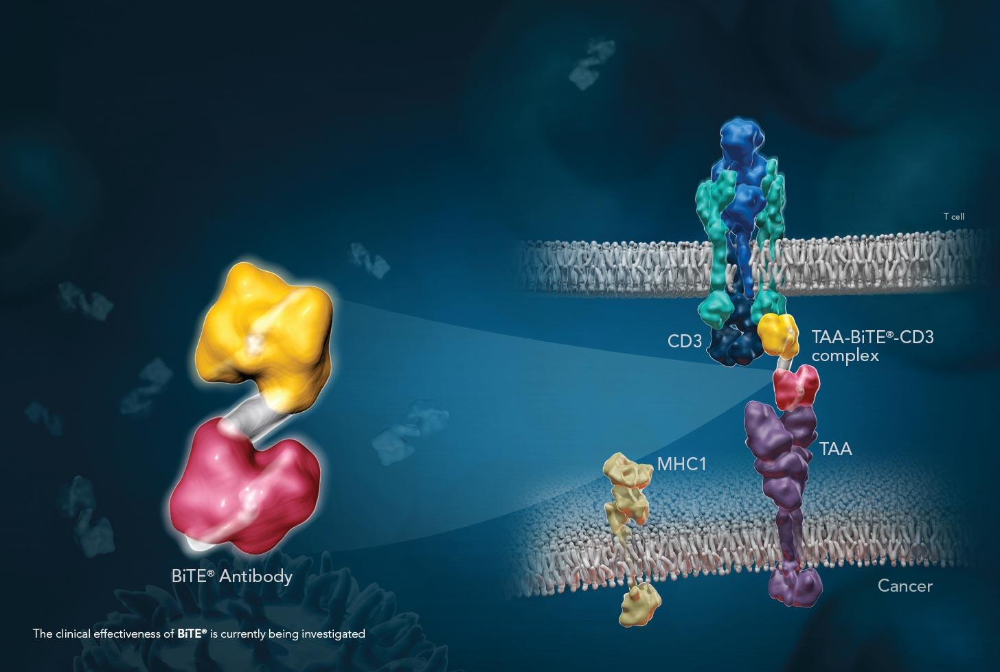 bite 01 - Harpoon Therapeutics: новая модальность иммуноонкологического лечения