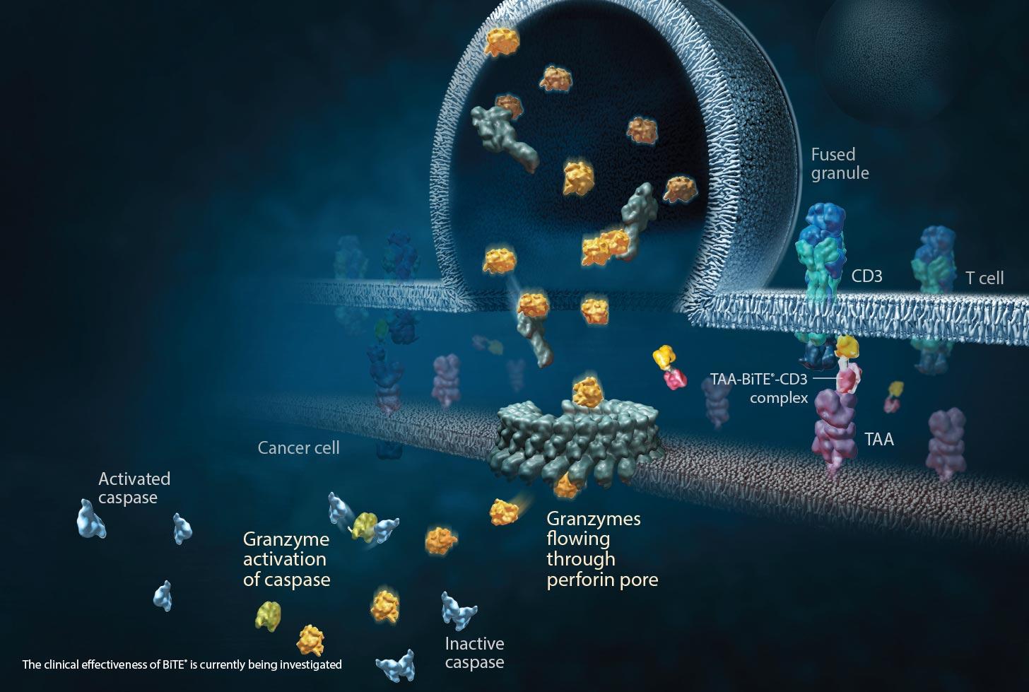 bite 02 - Harpoon Therapeutics: новая модальность иммуноонкологического лечения
