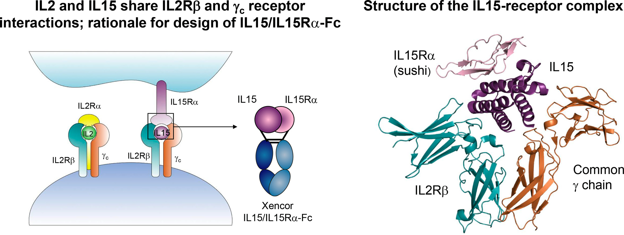 il 2 il 15 - Roche изучит лечение рака при помощи интерлейкина 15