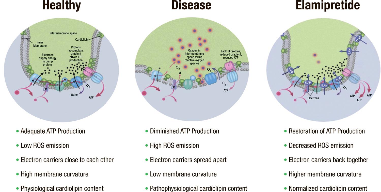 stealth biotherapeutics 02 - «Зимура»: возможно, первое лекарство против сухой возрастной макулодистрофии