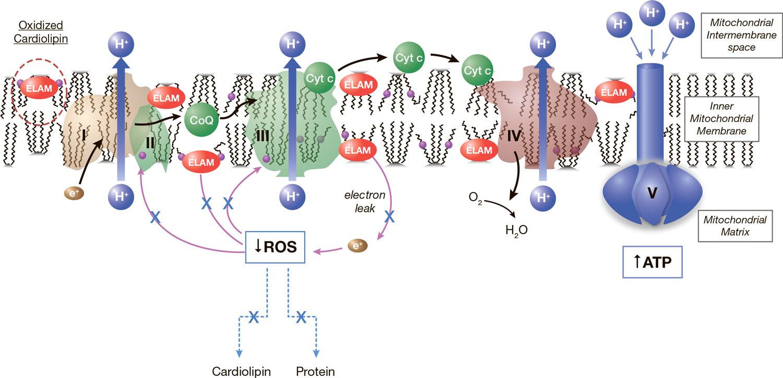 stealth biotherapeutics 03 - «Зимура»: возможно, первое лекарство против сухой возрастной макулодистрофии