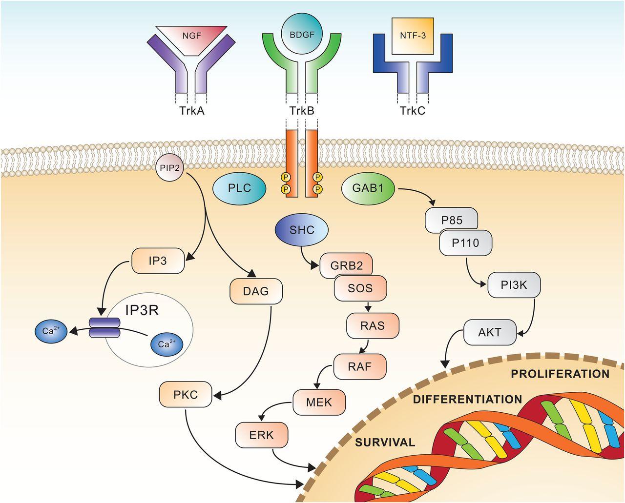 trk receptors signalling - «Витракви»: лечение любых солидных опухолей