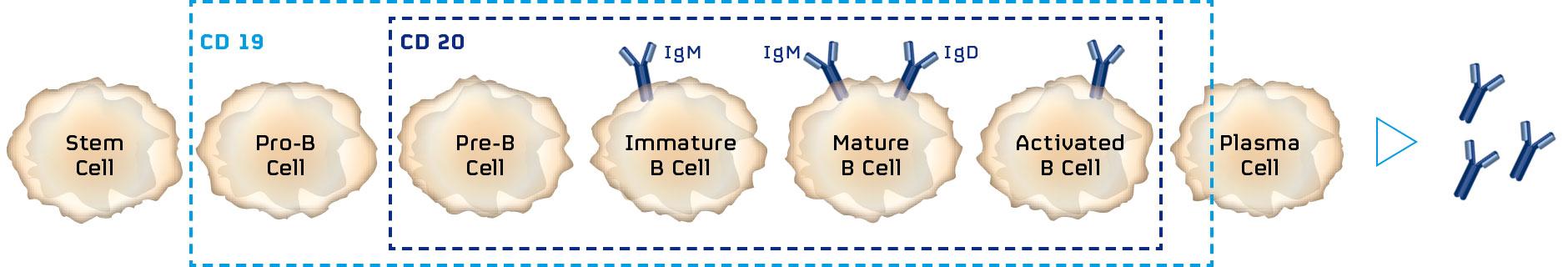 Тафаситамаб: моноклональное антитело, которое не хуже CAR-T-терапии