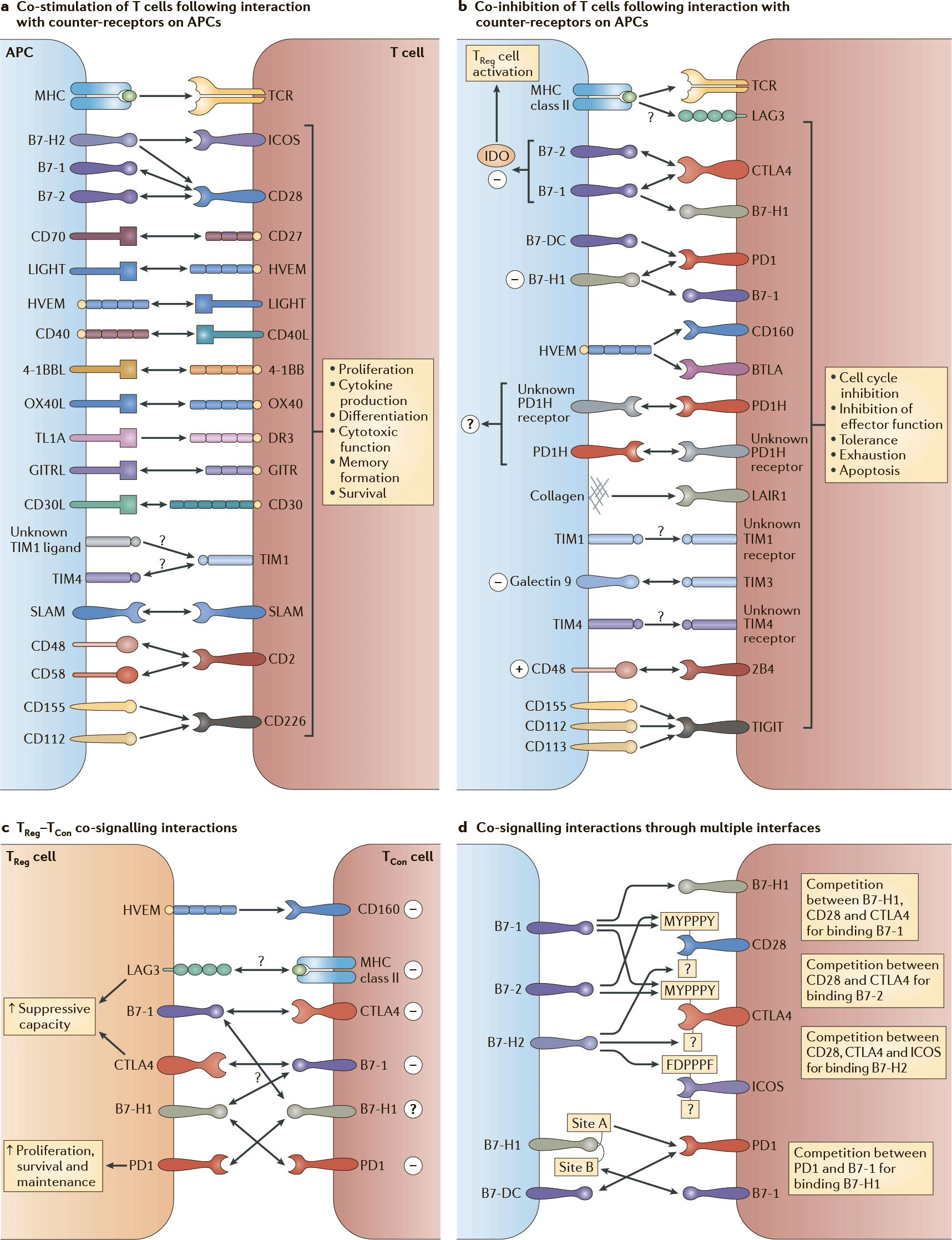 co stimulatory and co inhibitory t cells molecules - STING: иммунологическое жало против раковых заболеваний