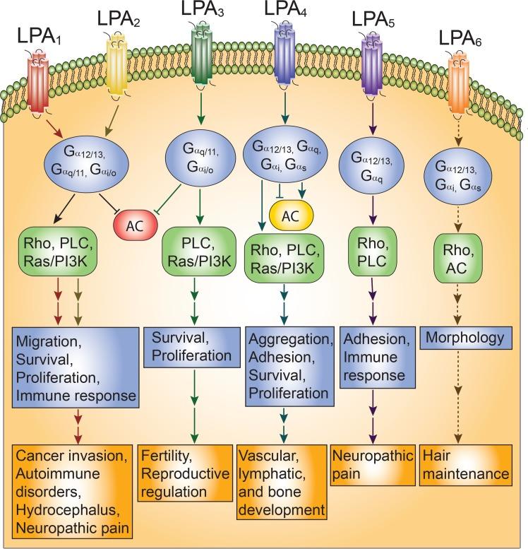 lysophosphatidic acid pathways 02 - Gilead вырвалась из гепатитного плена