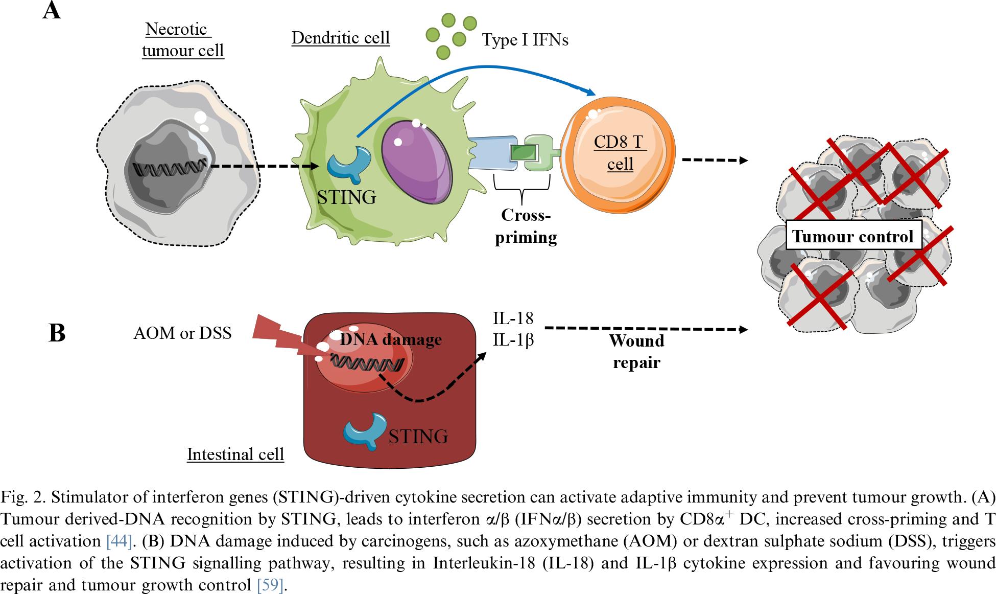 sting moa 01 - STING: иммунологическое жало против раковых заболеваний