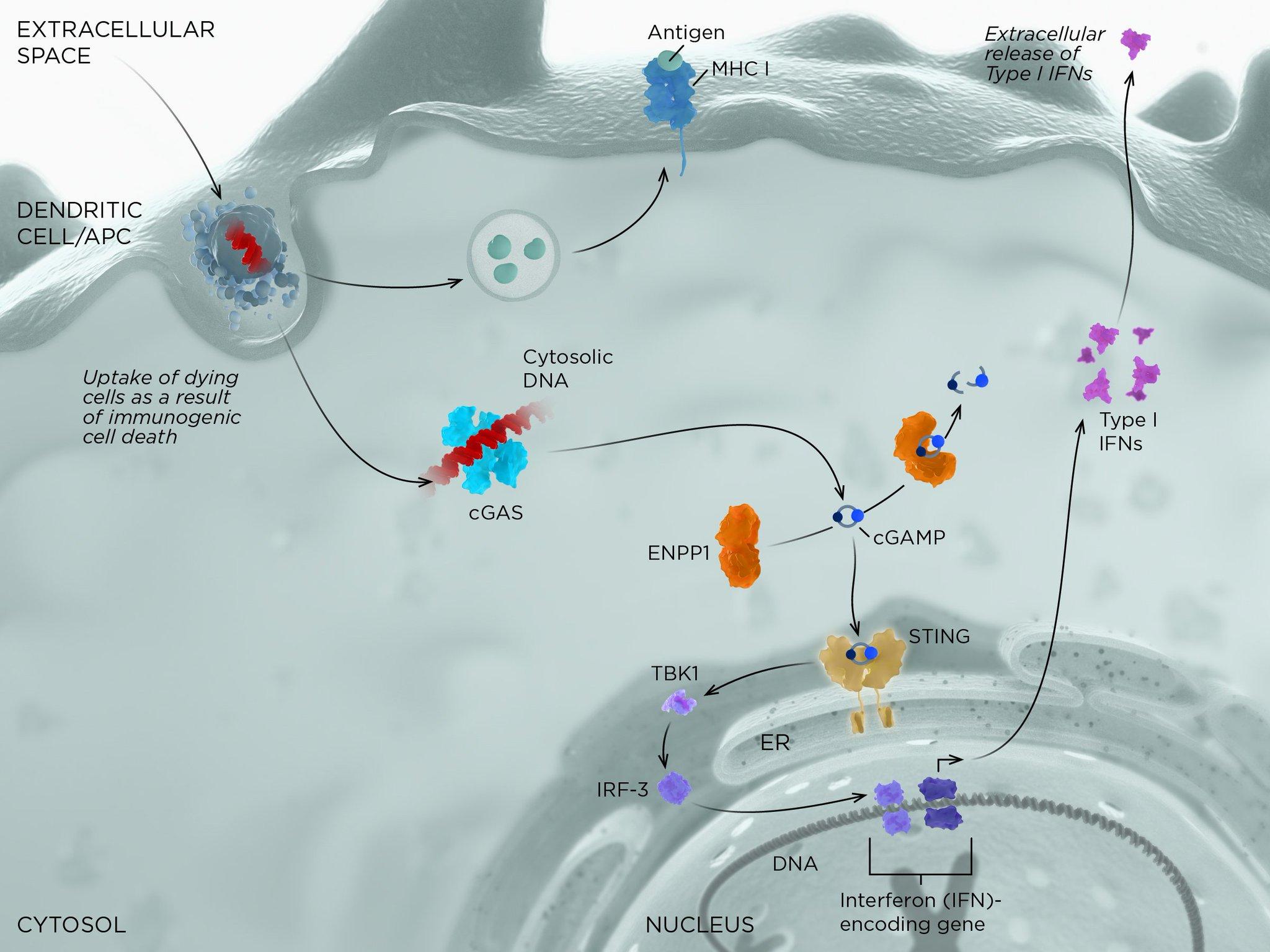 sting moa 03 - STING: иммунологическое жало против раковых заболеваний