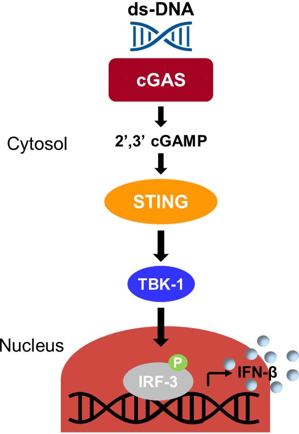 sting pathway - STING: иммунологическое жало против раковых заболеваний