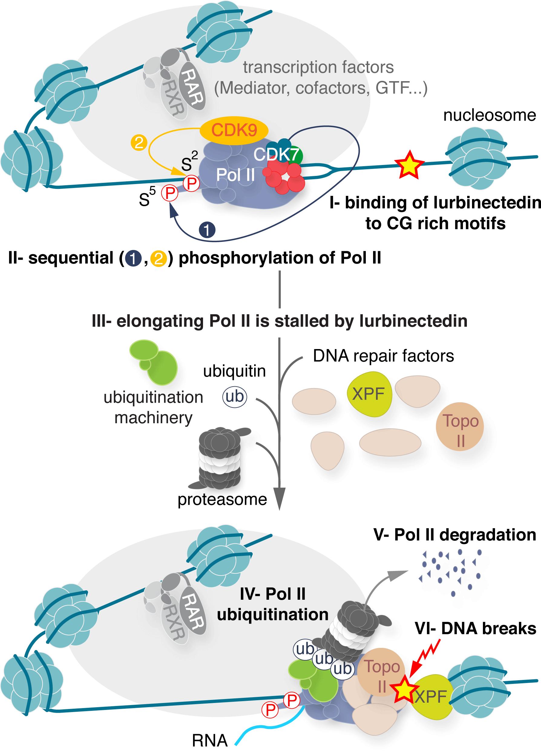 lurbinectedin moa 01 - Лурбинектедин: сильный химиопрепарат против мелкоклеточного рака легких