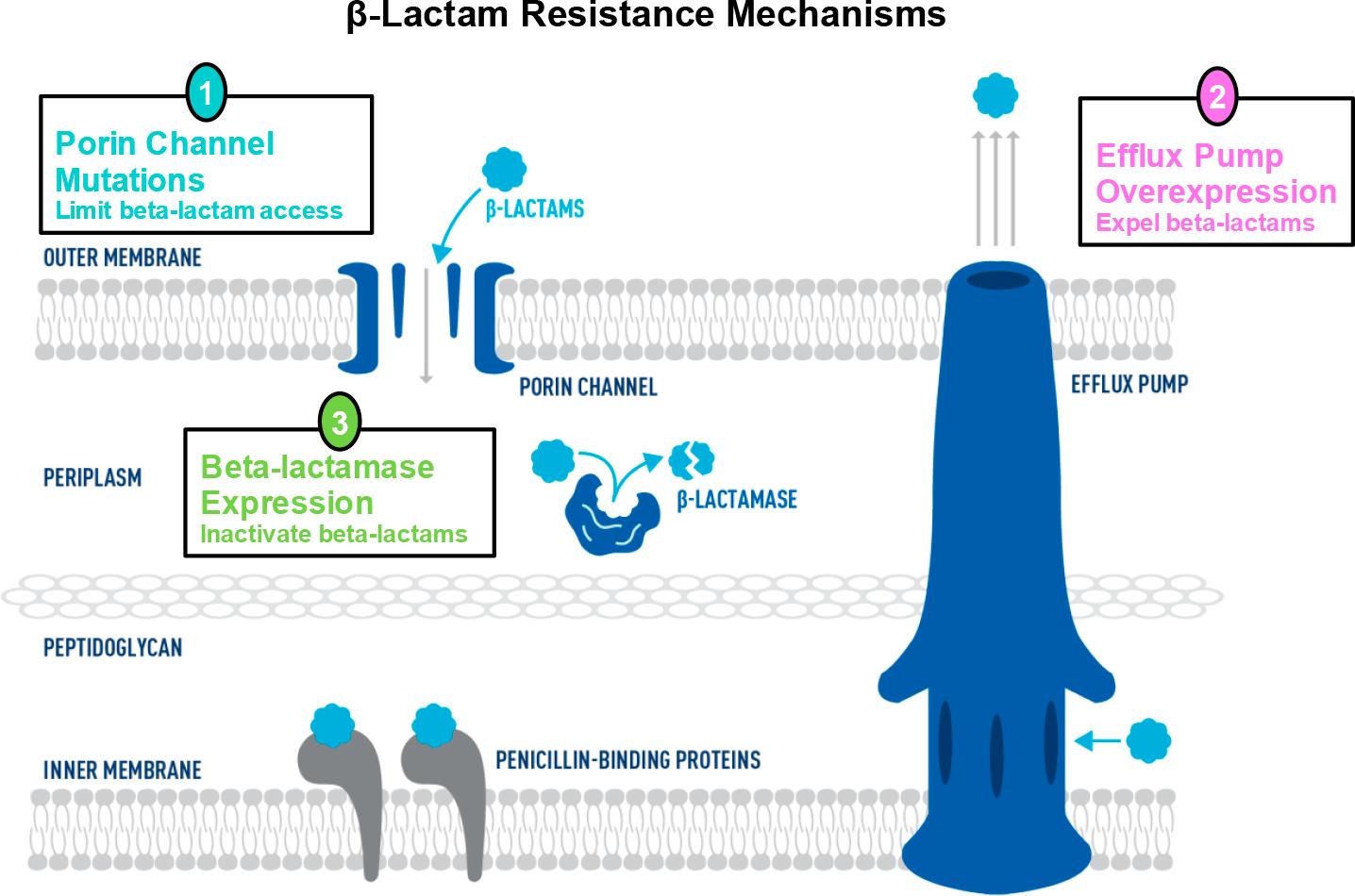 beta lactam resistance mechanisms - Цефидерокол: новый цефалоспорин, который обходит любую антибиотикорезистентность