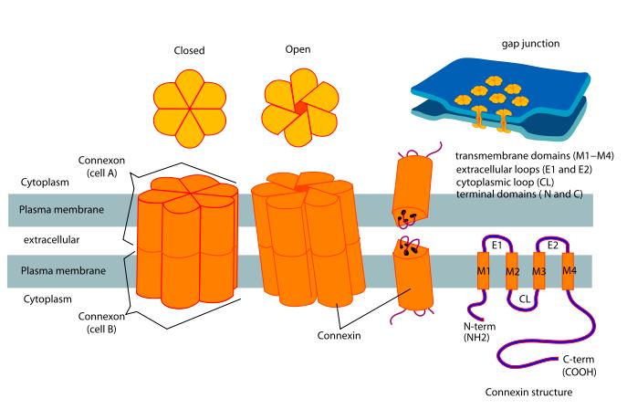connexon and connexin structure - «Зимура»: возможно, первое лекарство против сухой возрастной макулодистрофии