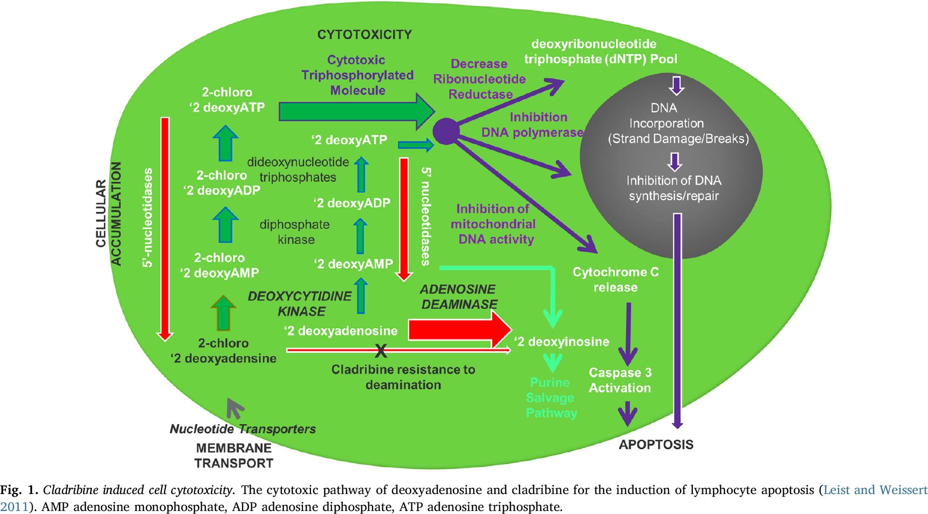 cladribine moa 01 - «Мавенклад»: старая новинка для лечения рассеянного склероза