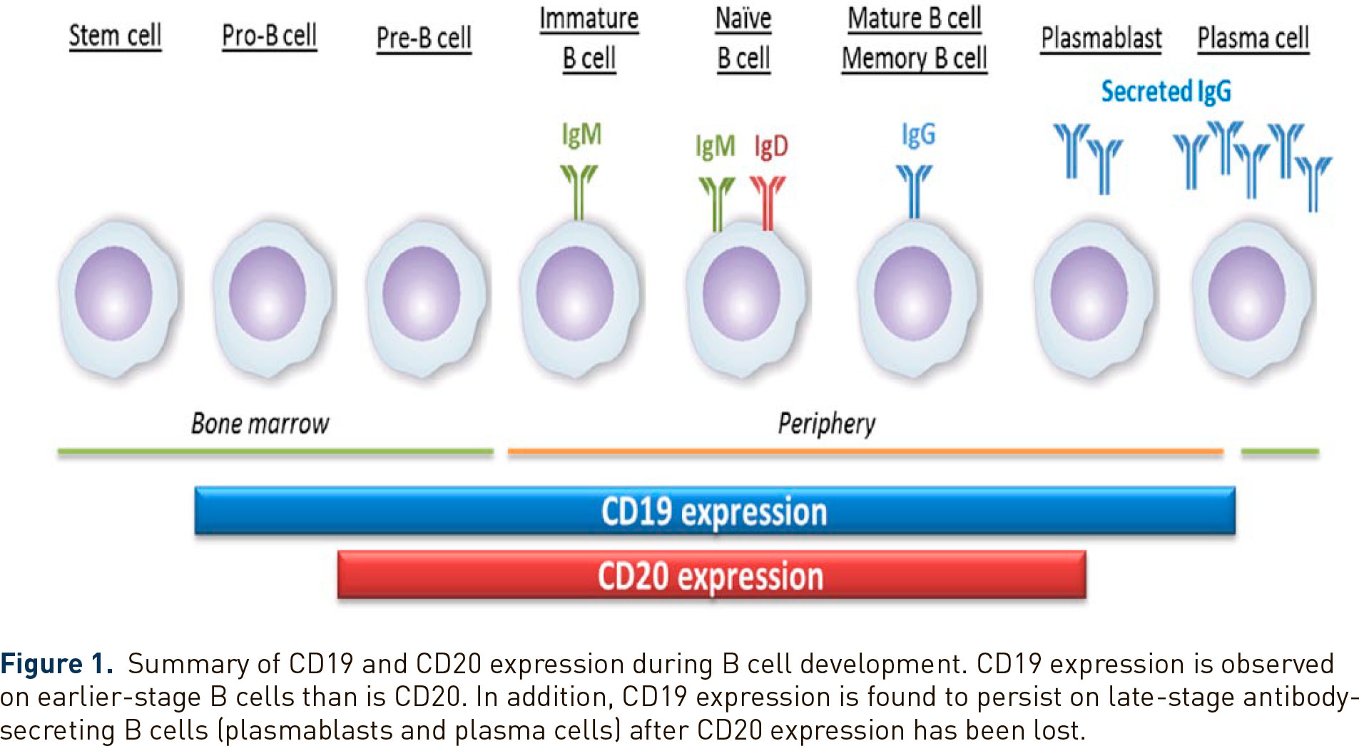 cd19 vs cd20 expression - «Аплизна»: новый препарат для лечения нейромиелита зрительного нерва со спектральным расстройством