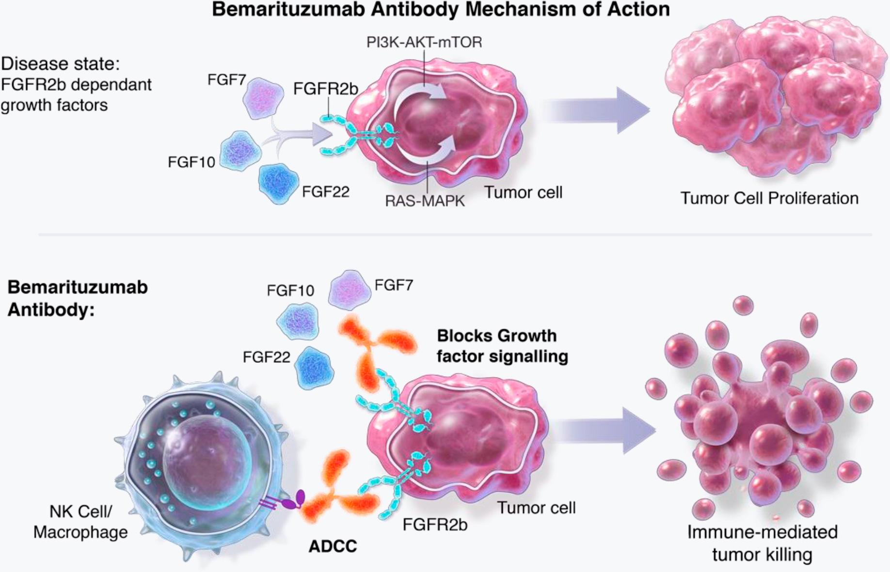 bemarituzumab moa 02 - Бемаритузумаб: прорыв в лечении рака желудка