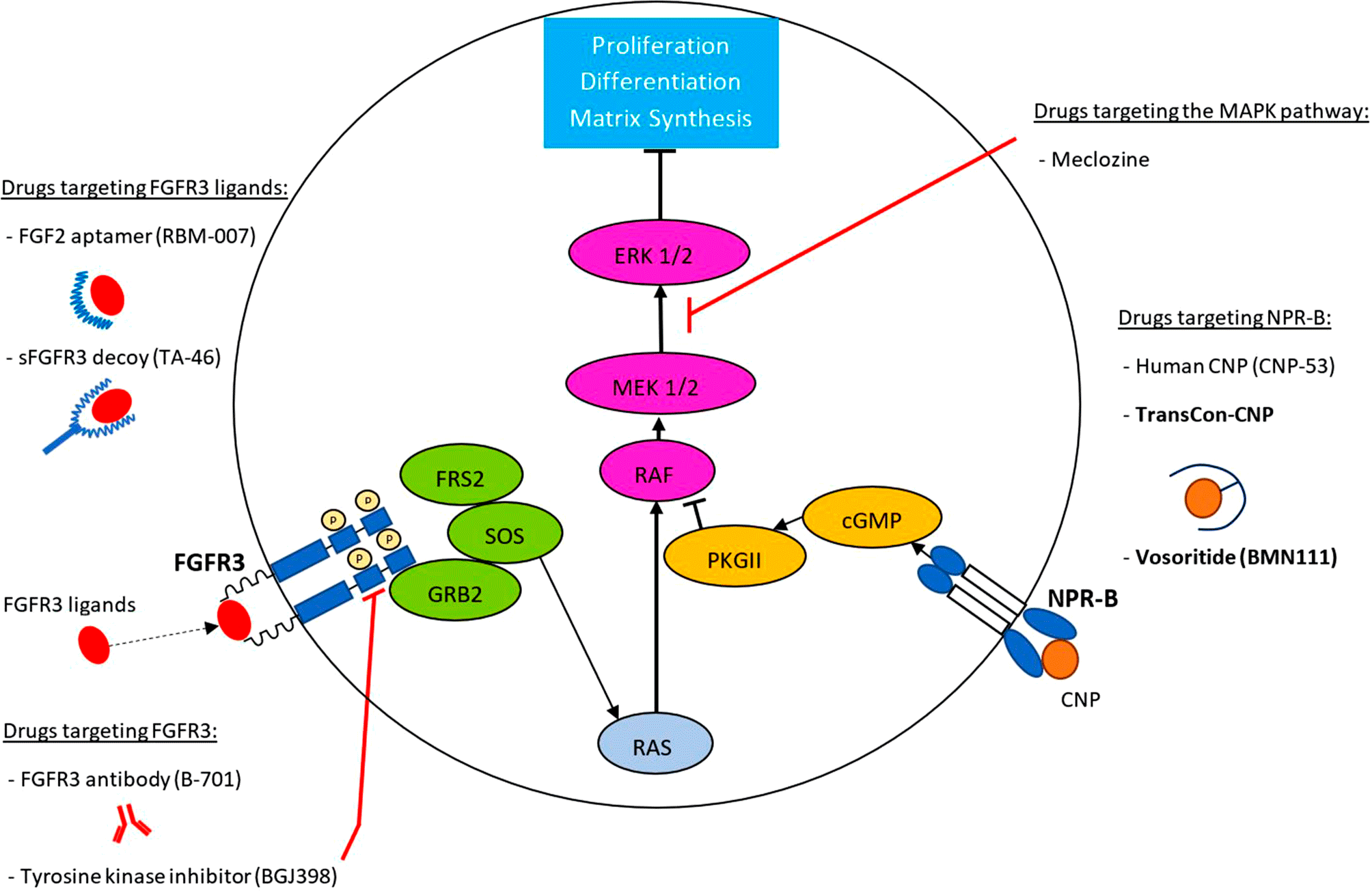 drugs in development for the treatment of achondroplasia - Восоритид: первое лекарство против карликовости