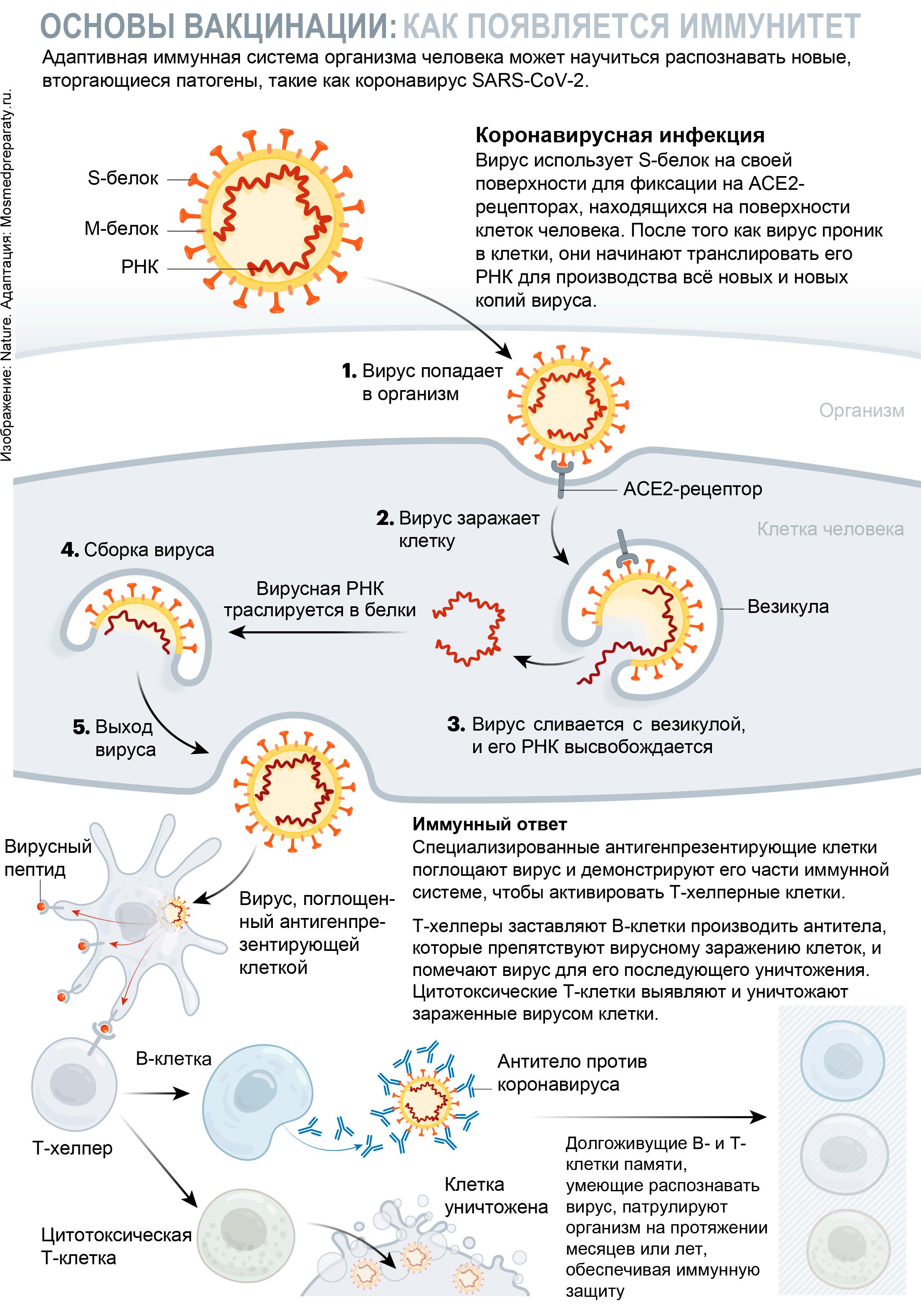 immunity developed - Коронавирус. Вакцины. Pfizer и BioNTech: первая реальная победа над ковидом! [Обновлено]
