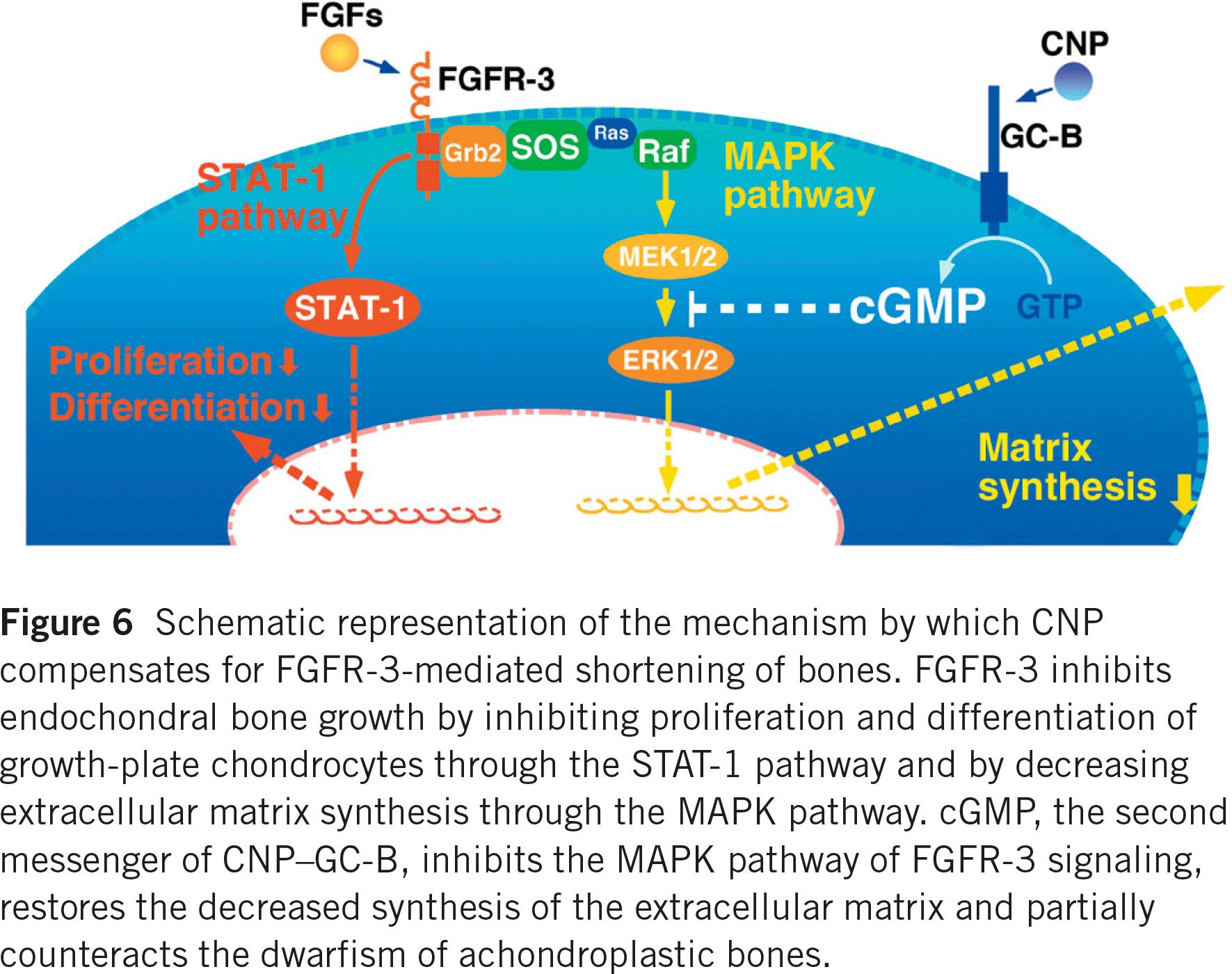 mapk stat1 pathways achondroplasia - Восоритид: первое лекарство против карликовости