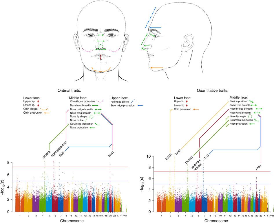 Гены и лицо.
